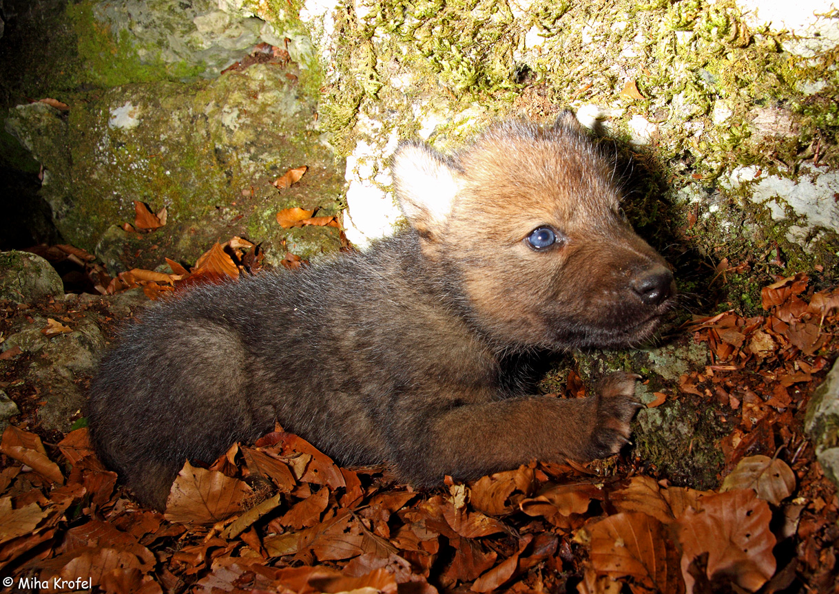 Gray wolf pup in a den in Dinaric Mountains in Slovenia